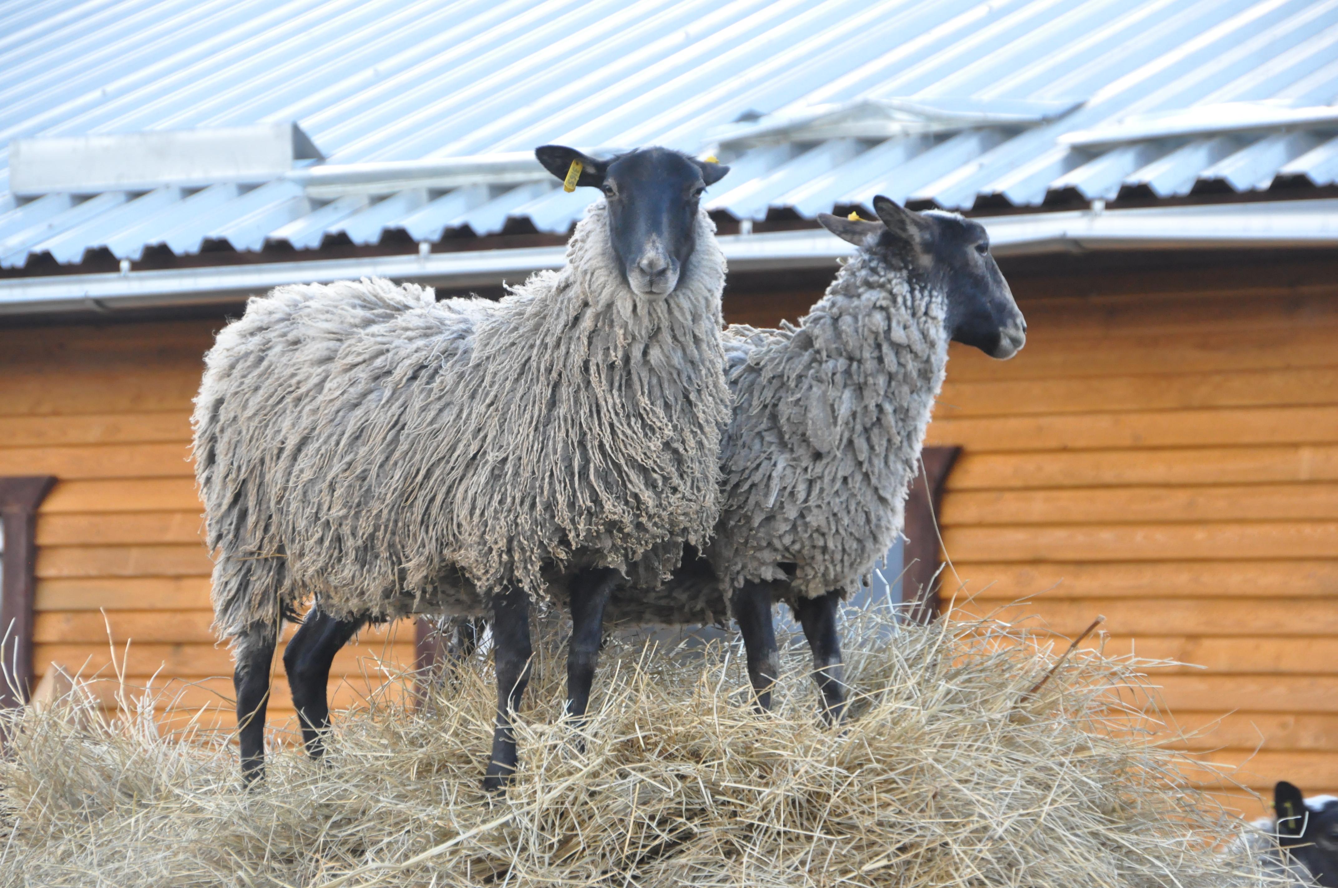 романовские овцы фото также отличается сильно